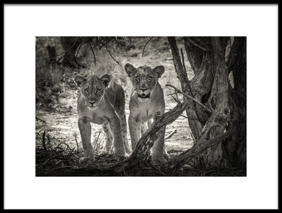 Art print titled Two Young Lions by the artist Henrike Scheid