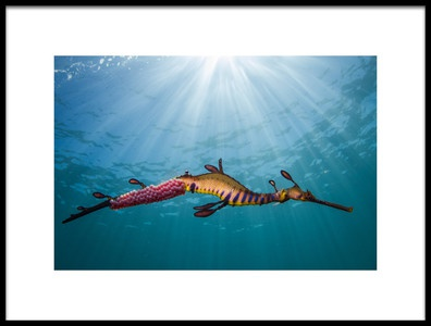 Art print titled Weedy Seadragon In the Light by the artist Richard Wylie
