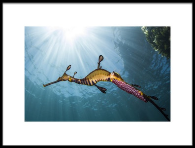 Buy this art print titled Weedy Seadragon Profile by the artist Richard Wylie