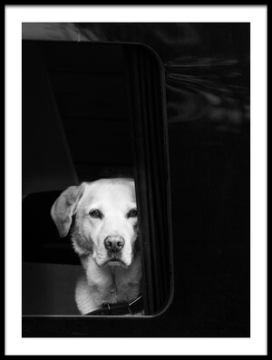 Buy this art print titled White Dog In Black Van by the artist Petra Dvorak