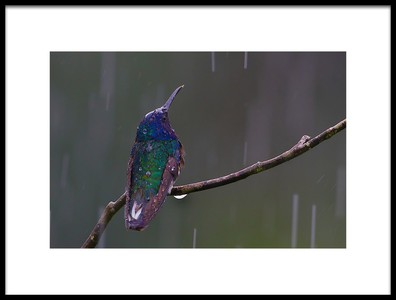 Buy this art print titled White Necked Jacobin Hummingbird by the artist Ray Cooper