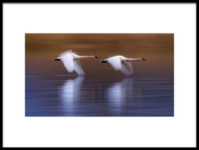 Buy this art print titled White Swans Flying Upon the Lake by the artist Katsu Uota