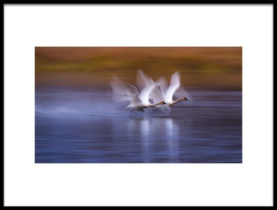 Buy this art print titled White Swans Taking Off by the artist Katsu Uota