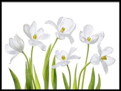 Art print titled White Tulips by the artist Mandy Disher
