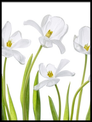 Buy this art print titled White Tulips III by the artist Mandy Disher