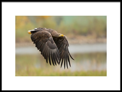 Art print titled Whitetailed Eagle by the artist Milan Zygmunt