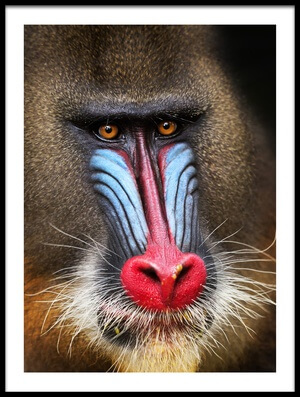 Buy this art print titled Wild Mandrill In Black by the artist Alessandro Catta