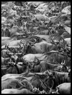Art print titled Wildbeests by the artist Henry Zhao