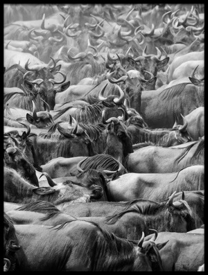 Buy this art print titled Wildbeests II by the artist Henry Zhao