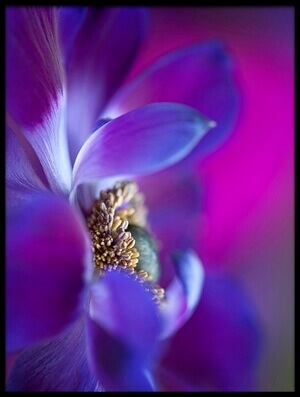 Buy this art print titled Windflower by the artist Jacky Parker
