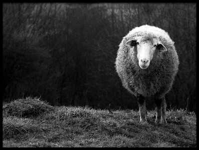 Art print titled Wondering Sheep by the artist Ajven