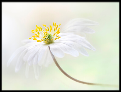 Art print titled Wood Anemone by the artist Jacky Parker