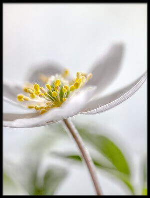 Art print titled Wood Anemone by the artist Mandy Disher