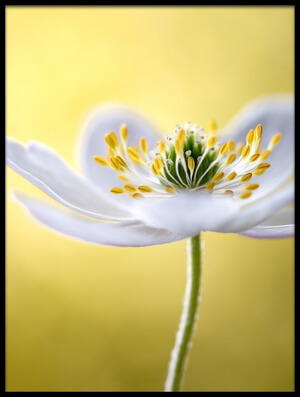 Buy this art print titled Wood Anemone by the artist Mandy Disher