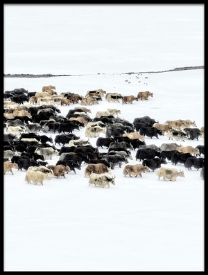 Art print titled Yaks In Snow by the artist Hua Zhu