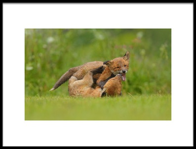 Art print titled Young Foxes Play by the artist Assaf Gavra
